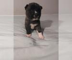 Puppy 4 Akita