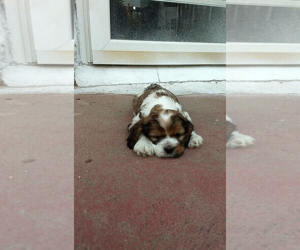 PuppyFinder com - View Ad: Photo #7 of Listing Cocker Spaniel Puppy