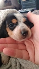 Dachshund Puppy For Sale in WOODLAND PARK, CO, USA