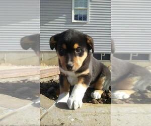 Australian Shepherd Puppy for Sale in ELK GROVE VILLAGE, Illinois USA