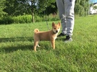 Shiba Inu Puppy For Sale in DELMAR, NY, USA