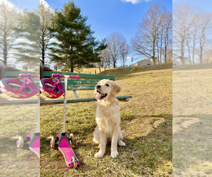 Golden Retriever Puppy for sale in ODENTON, MD, USA