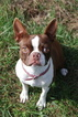 Boston Terrier Puppy For Sale in LEITCHFIELD, KY,