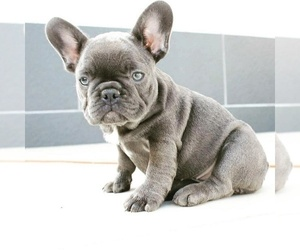 French Bulldog Puppy for sale in OMAHA, NE, USA