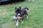 Siberian Husky Puppy For Sale in WHITE SULPHUR SPRINGS, WV,