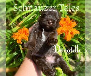 Schnauzer (Miniature) Puppy for sale in BRANON, NC, USA