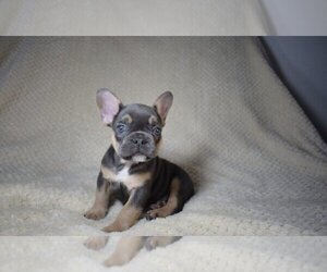 French Bulldog Puppy for sale in INDIAN RIVER SHORES, FL, USA