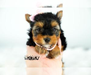 Yorkshire Terrier Dog for Adoption in KELLER, Texas USA