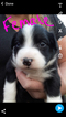 Australian Shepherd Puppy For Sale in MONTGOMERY, MI, USA