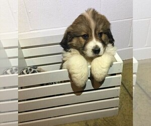 Great Bernese Puppy for sale in FREDERICKSBG, OH, USA