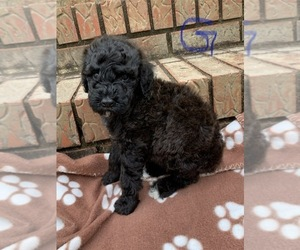 Poodle (Standard) Puppy for sale in AND, SC, USA