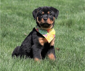 Rottweiler Puppy for sale in FREDERICKSBG, OH, USA