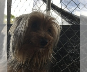 Yorkshire Terrier Puppy for Sale in TULARE, California USA