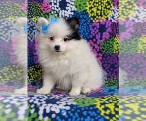 Pomeranian Dog for Adoption in KIRKWOOD, Pennsylvania USA
