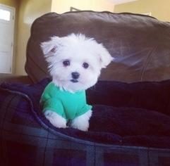 View Ad: Maltese Puppy for Sale near California, LOS ...