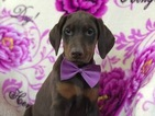 Doberman Pinscher Puppy For Sale in EAST EARL, PA, USA