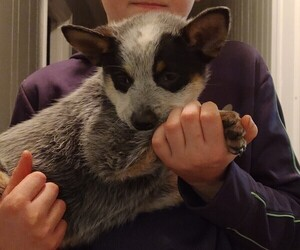 Australian Cattle Dog Puppy for sale in ROARING RIVER, NC, USA