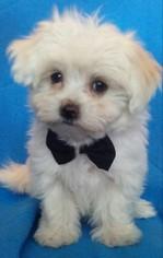 Maltese Puppy For Sale in LEAMINGTON, UT, USA