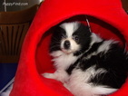 Pomeranian Puppy For Sale in BUELL, MO, USA