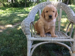 Golden Retriever Puppy for sale in GREENCASTLE, PA, USA
