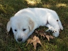 Goberian Puppy For Sale in ADEL, IA, USA