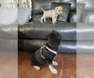 American Pit Bull Terrier Puppy for sale in WILLIAMSBURG, CO, USA