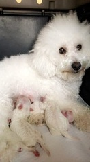 Bichon Frise Puppy For Sale in EAGLE MOUNTAIN, UT, USA