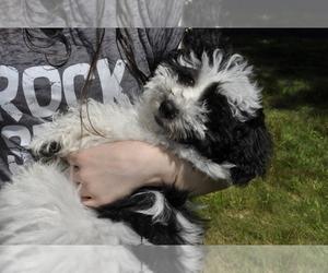 Havanese Puppy for sale in DEMAREST, NJ, USA