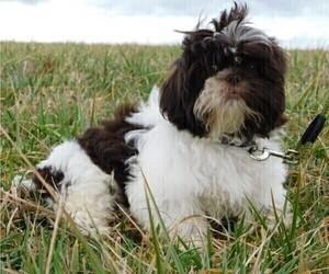 Shih Tzu Puppy for Sale in ENKA, North Carolina USA