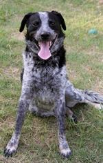 Cozmo - Cattle Dog Dog For Adoption