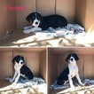 Great Dane Puppy For Sale in FONTANA, CA