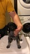 German Shorthaired Pointer Puppy For Sale in ARLINGTON, SD, USA