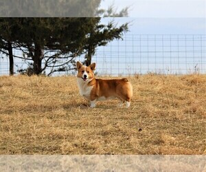 Father of the Pembroke Welsh Corgi puppies born on 03/04/2021