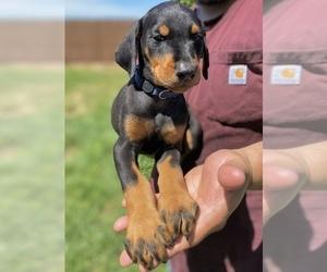 Doberman Pinscher Puppy for sale in GUSTINE, CA, USA
