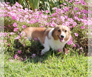 Mother of the Pembroke Welsh Corgi puppies born on 06/13/2020