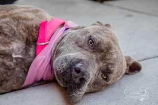 Ember - Staffordshire Bull Terrier / Mixed (short coat) Dog For Adoption