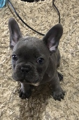 French Bulldog Puppy For Sale in WALTON, IN, USA