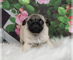 Pug Puppy for Sale in WARSAW, Indiana USA