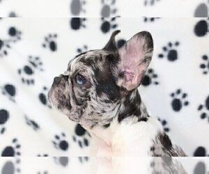 French Bulldog Puppy for sale in BELLE HAVEN, CT, USA