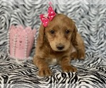 Small #6 Labradoodle-Poodle (Miniature) Mix