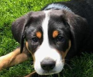 Greater Swiss Mountain Dog Puppy for sale in JONESTOWN, PA, USA