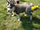 Siberian Husky Puppy For Sale in WAUSAU, WI,