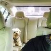 Shorkie Tzu Puppy For Sale in ATLANTA, GA, USA