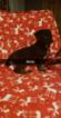Puppy 3 German Shepherd Dog-Goldendoodle Mix