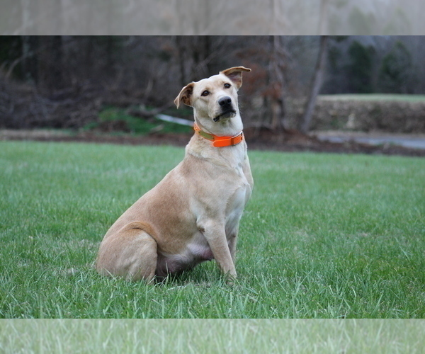 Medium Photo #1 Labrador Retriever Puppy For Sale in COTTAGE GROVE, TN, USA