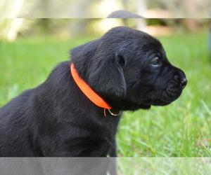 Labrador Retriever Puppy for Sale in RICHMOND HILL, Georgia USA