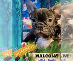 Small Photo #1 French Bulldog Puppy For Sale in HEATHROW, FL, USA