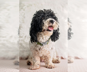 Father of the Poodle (Miniature)-Portuguese Water Dog Mix puppies born on 11/10/2020