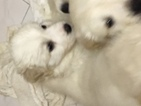Great Pyrenees Puppy For Sale in NEWARK, NJ