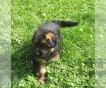 Small #9 German Shepherd Dog